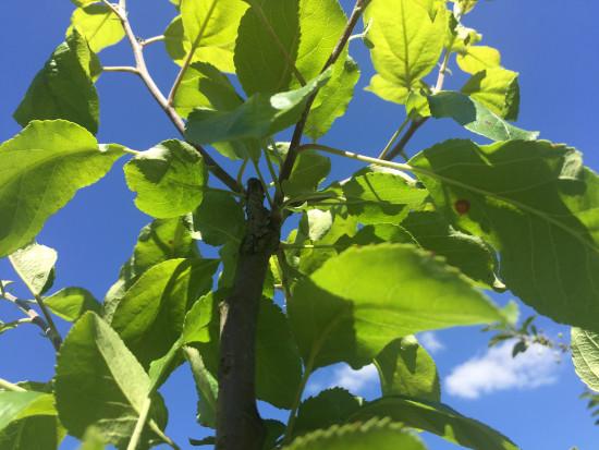 Ważna ochrona przeciwko parchowi jabłoni latem
