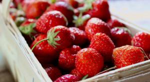 Pełnia zbiorów truskawek - ceny w hurcie stabilne