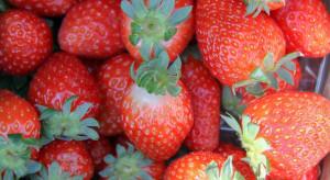 Rekordowo chłodny maj opóźnił sezon jagodowy w Wielkiej Brytanii