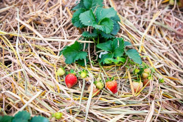 Truskawki gotowe do zbioru zniszczone herbicydem