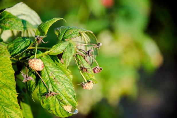 Lubelskie: grad zniszczył uprawy tytoniu, chmielu, malin i jabłek