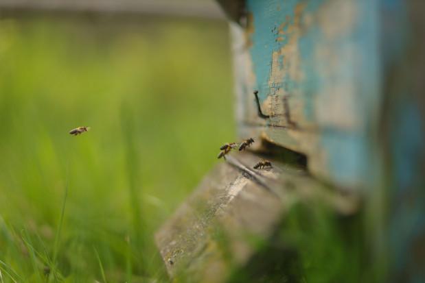 Naukowcy: miejskie pasieki mogą szkodzić rodzimym gatunkom pszczół
