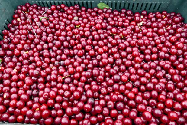 Niskie ceny wiśni w Serbii. Sadownicy rezygnują ze zbiorów