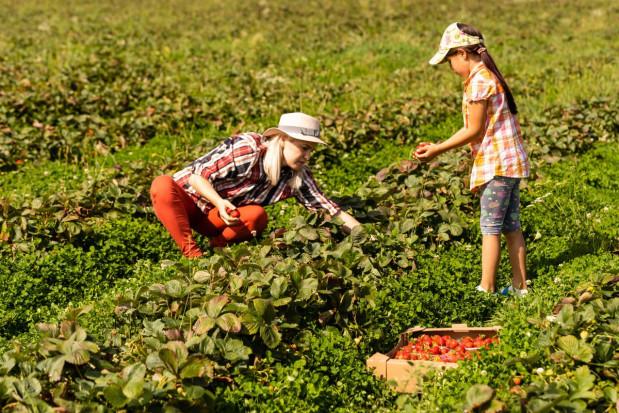 Czy i jak można zarobić na samozbiorach truskawek?