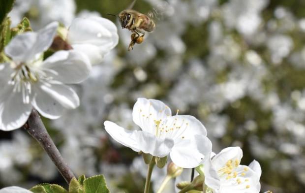 Większa ochrona pszczół. KE pracuje nad nowymi przepisami