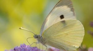 30 czerwca obchodzimy Dzień Motyla Kapustnika