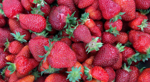 Zaskakujący spadek cen truskawek w skupach