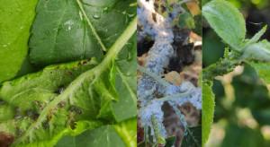 Mszyce intensywnie atakują sady jabłoniowe. Strategie ochrony