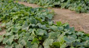 Mączniak rzekomy dyniowatych - widoczne porażenie na roślinach