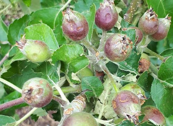 Gmina Olszana: po gradobiciu 90 proc. owoców w sadach przepadło