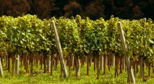 Turyści będą zwiedzać winnice w ramach Dni Otwartych Winnic