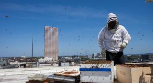 Wilno: Na dachu Samorządu Miasta zamieszkały pszczoły