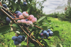 Wzrost spożycia borówek w kraju cieszy plantatorów (wideo)