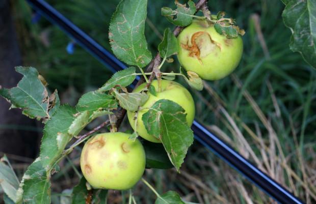 Będzie większa pomoc dla sadowników poszkodowanych w wyniku nawałnic?
