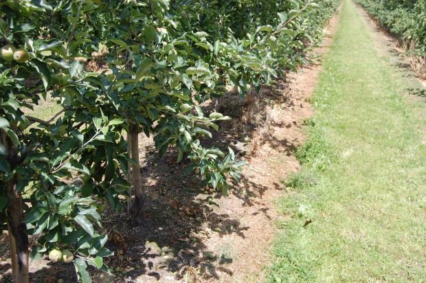 Dobre efekty działania herbicydu Halvetic w sadzie SGGW