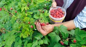 Samozbiory owoców coraz popularniejsze na Podlasiu