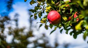Testy nowych rozwiązań do zapobiegania poparzeniom słonecznym jabłek