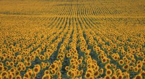 Zmiany klimatyczne sprzyjają uprawie słonecznika w Polsce