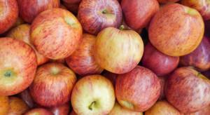 Turecki producent: Za miesiąc pierwsze zbiory jabłek Gala i ich eksport