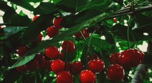 Zbiór czereśni nocą - lepsza jakość owoców i chętni pracownicy