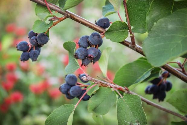 Owoce świdośliwy dostępne w hurcie - jaki popyt i ceny?