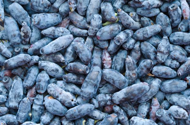 Wzrasta zainteresowanie owocami jagody kamczackiej w Polsce i na świecie