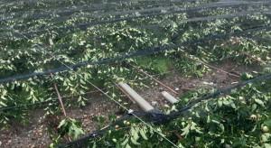 Aesch, Szwajcaria: Sady jabłoniowe całkowicie zniszczone przez burze