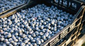 Borówka 2021: Ceny na rynkach hurtowych od 9 zł/kg
