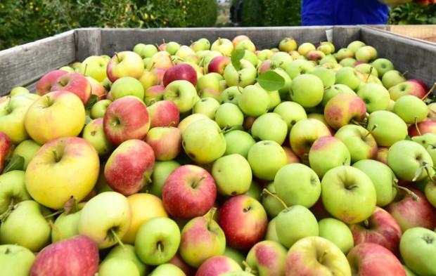 Skupy podają pierwsze ceny jabłek z przerywki