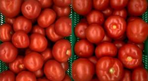 Czajka i Gracja - nowości odmianowe pomidora z Instytutu Ogrodnictwa