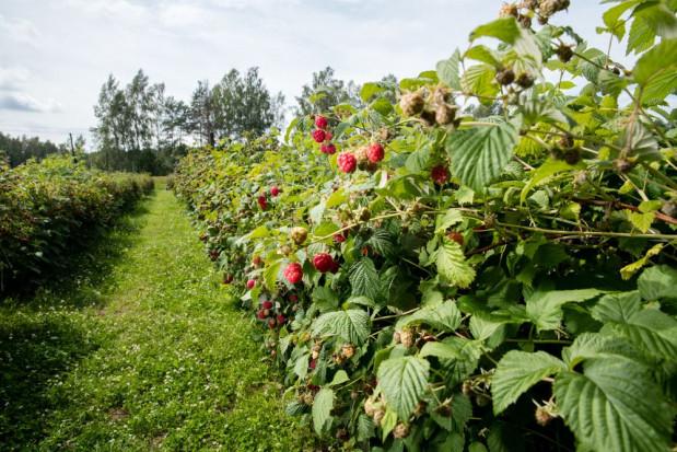 Karczmiska: Trwają testy nowoczesnego kombajnu do zbioru owoców miękkich