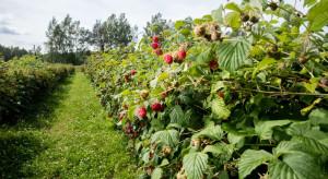 Karczmiska: W testach kombajn do zbioru owoców miękkich