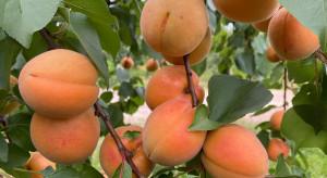 Morele hodowli IO -PIB. Jakie owocowanie?