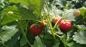 Ceny i podaż truskawek w 2021 r. - jak przebiegały zbiory?