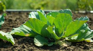 Zbiory warzyw wg GUS na poziomie ok. 3,9 mln t