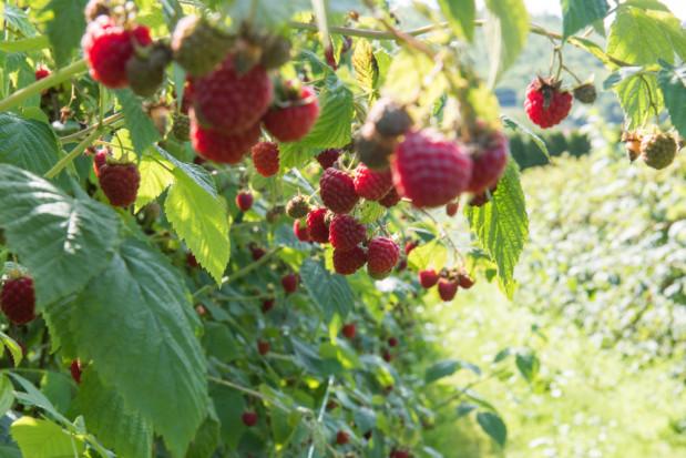 GUS: Wyższe plonowanie większości gatunków owoców