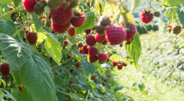 GUS - jakie szacunki zbiorów owoców w 2021 r.?