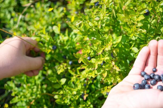 Szwecja: Ogniska koronawirusa wśród zbierających leśne jagody
