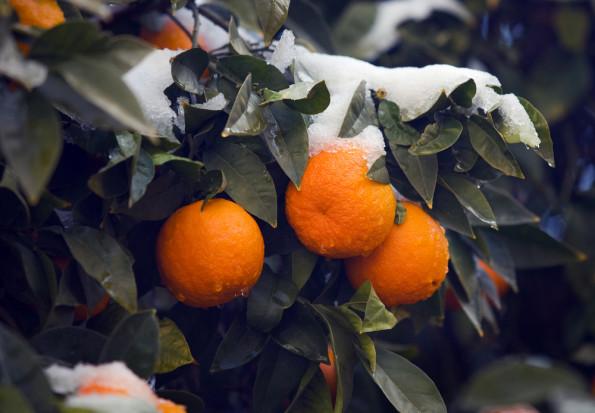 Brazylia: opady śniegu zagroziły uprawom pomarańczy