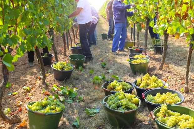 Włochy: początek winobrania - pierwsza kiść zostanie zerwana na Sycylii