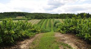 Polskie winiarstwo przeżywa renesans. Winnic jest ponad 320