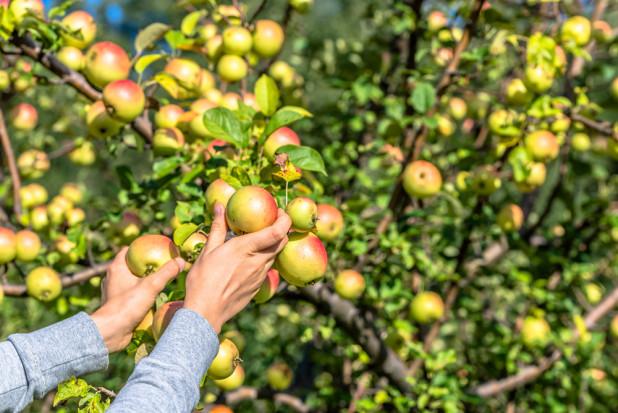 Gruzińscy sadownicy spodziewają się mniejszych zbiorów jabłek w tym sezonie