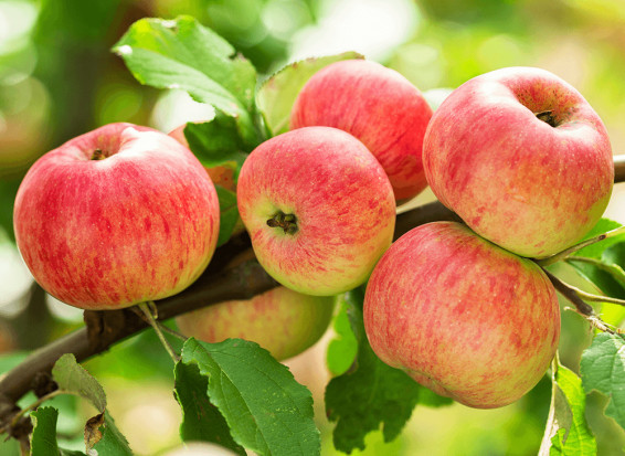 Jaki wpływ ma kolor jabłka na wybory konsumentów?
