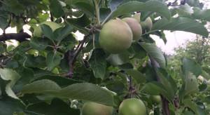 Drugie pokolenie owocówki jabłkóweczki - zwalczanie