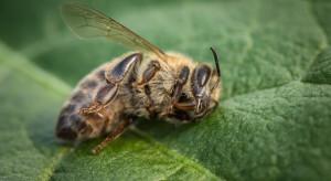 Popularne pestycydy szkodzą pszczołom już w najmniejszych dawkach