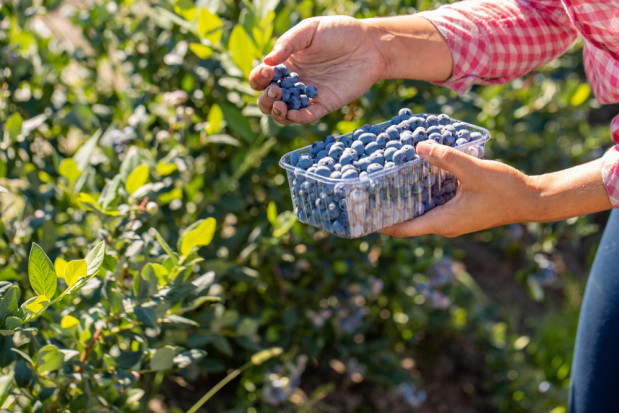 Plantatorzy nie chcą sprzedawać skupom owoców za grosze. Oferują samozbiory