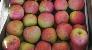 Bronisze: Duża podaż jabłek Piros, jakie ceny za klatkę ?