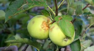 Konstantynów: Grad zniszczył sady. Odszkodowanie nie dla wszystkich sadowników