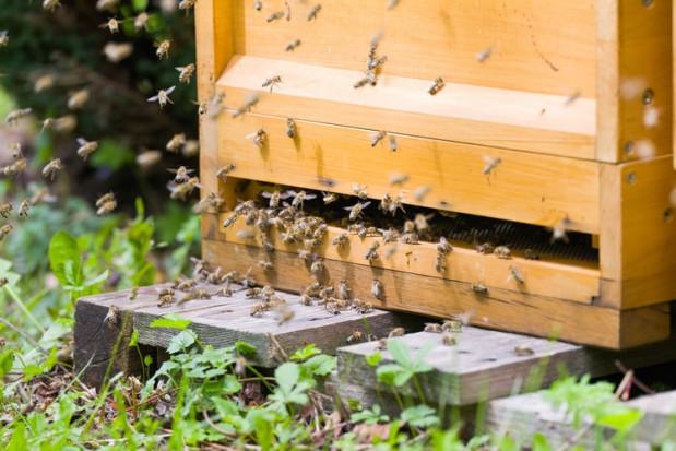 Warszawa: Strażnicy miejscy uratowali rój pszczół