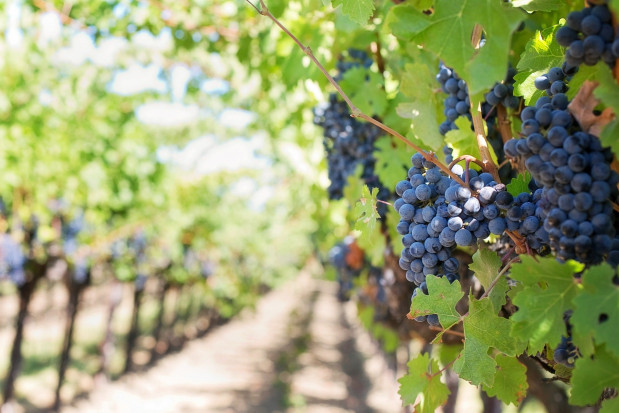Na Węgrzech rozpoczęło się winobranie